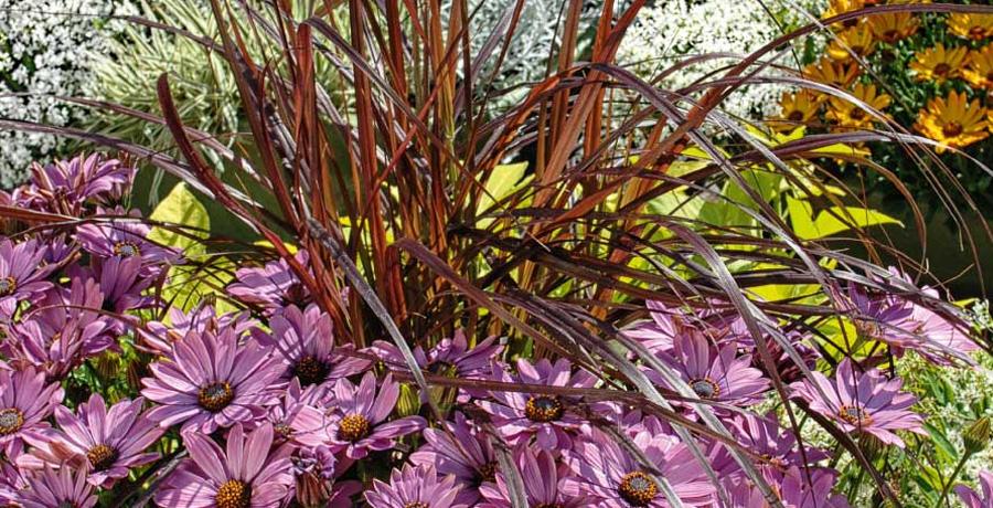 Osteospermum Summersmile